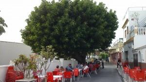 Cet arbre est un caoutchouc