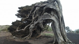 Le sabinal, arbre emblématique de El Hierro